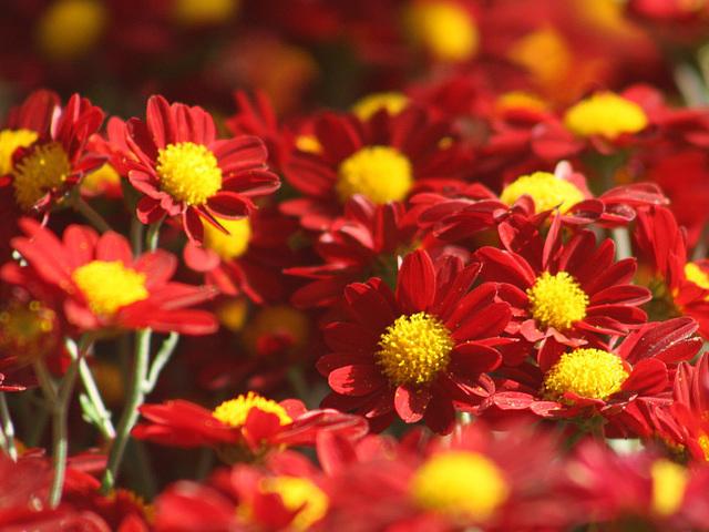 Anemone Chrysanthemums