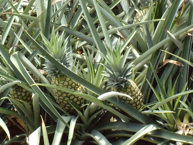 1. PINEAPPLE PLANTATION IN COSTA RICA
