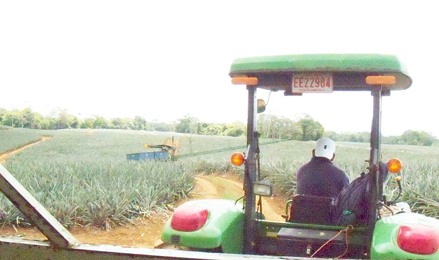 2. FIELDS AND FIELDS OF PINEAPPLES