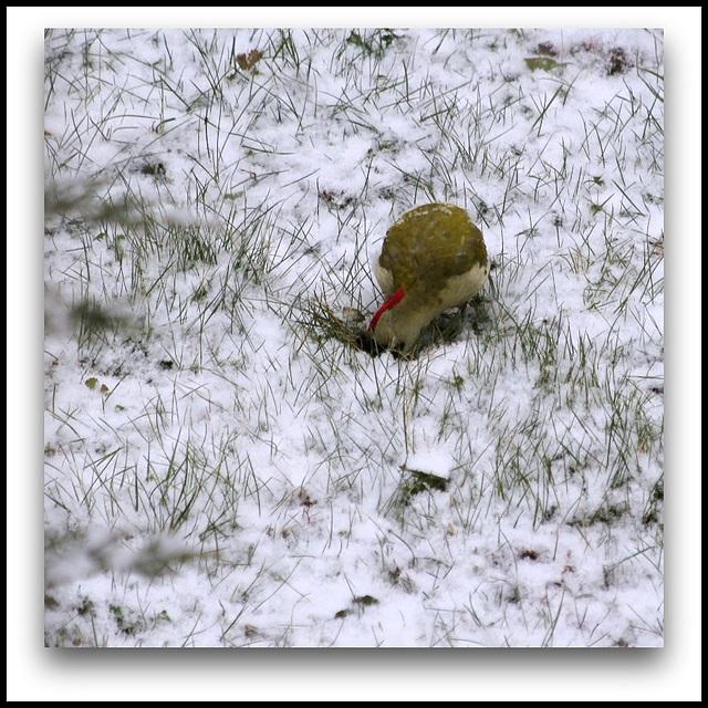 Pic Vert  dans la neige- en quête de fourmis