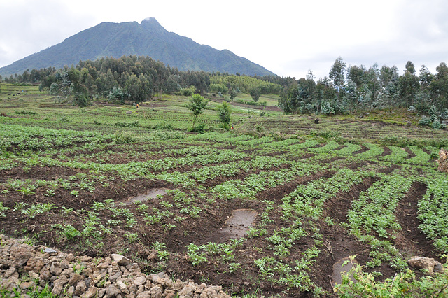 Piede de la vulkano, la agrokulturo kovras la kamparon survoje al la ĝangalo