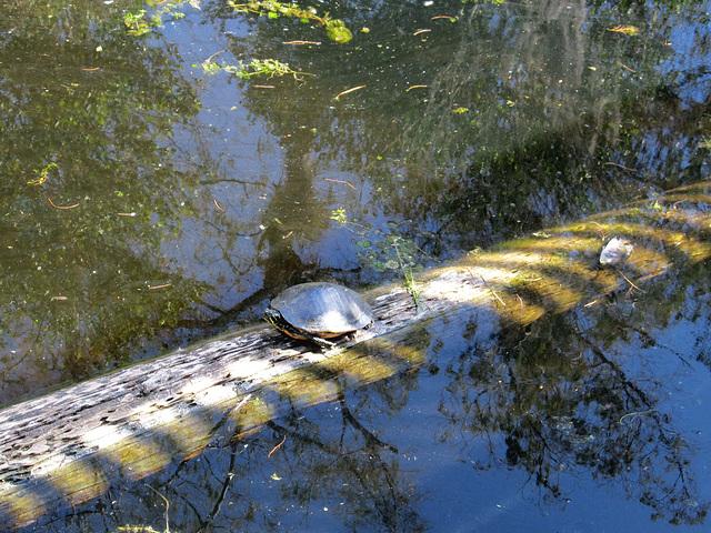 Wasserschildkröte in den Everglades