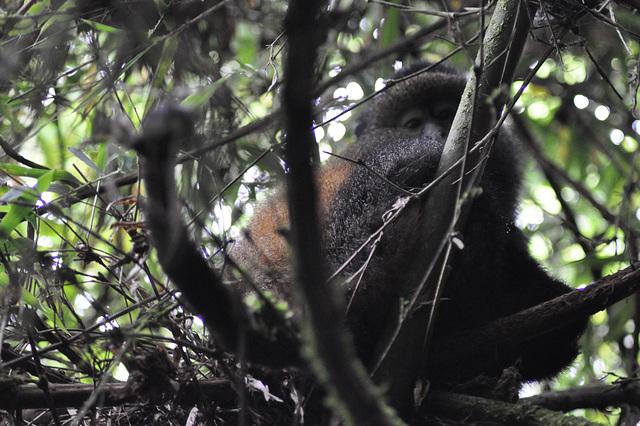 La unua oreca simio bonvenigas