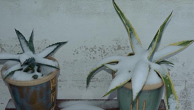 agaves DSC 0101 028redim