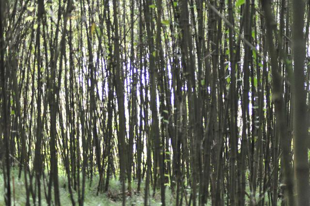 La hejmo de la simioj restas denove kaŝita malantaŭ la bambuoj