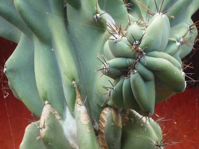 Cactus de Costa Rica 1