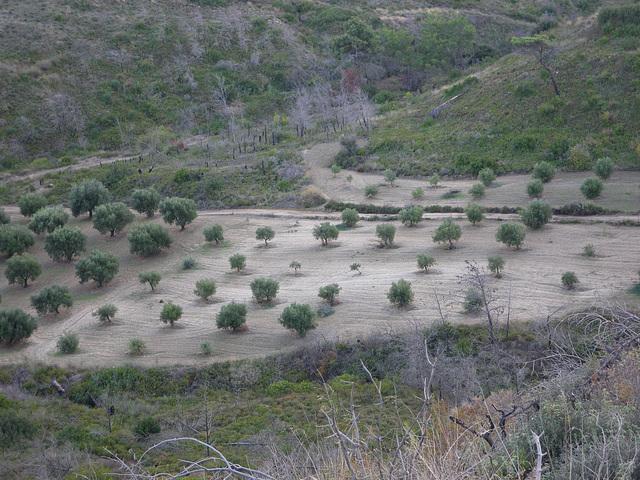 Vallées d'olivier