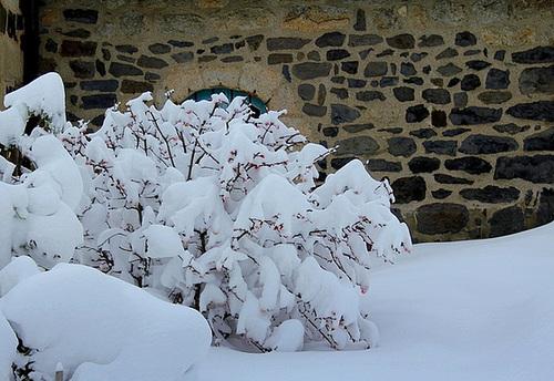 Viburnum sous la neige (3)