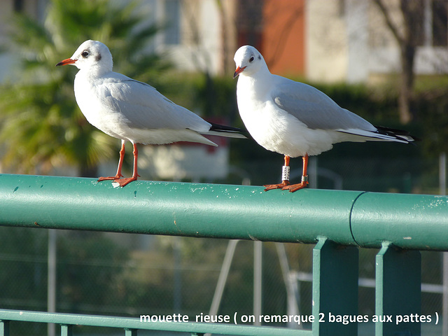35 mouette rieuse 2