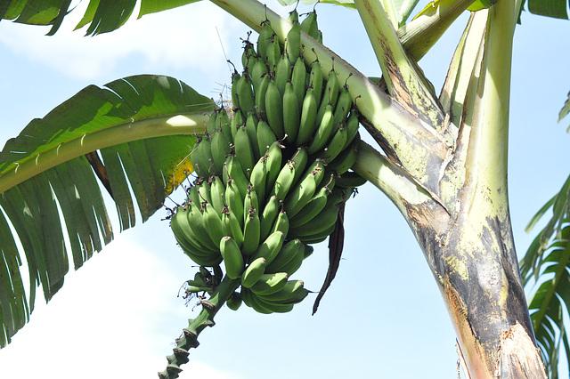 La bananoj estas unu el la ĉefaj manĝaĵoj de Ruando: freŝaj, frititaj, bolitaj...