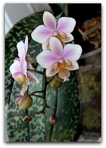 Phalaenopsis 'Philadelphia '