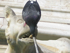 IMG 7247ac Funny Pic: The Thirsty Pigeon