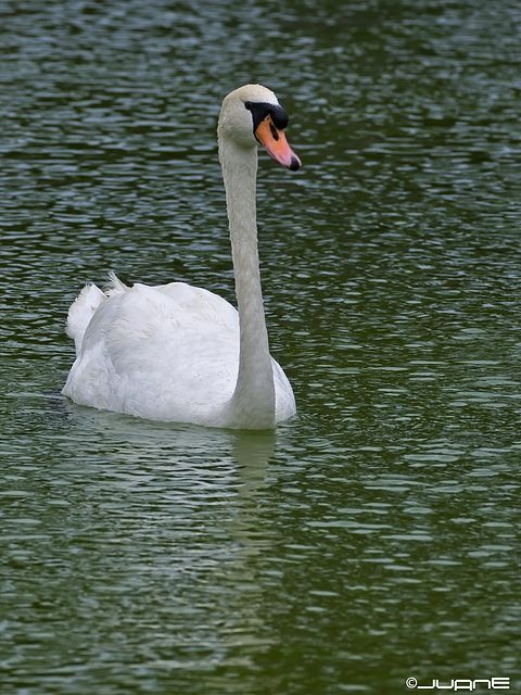 Cisne común (Cygnus olor)