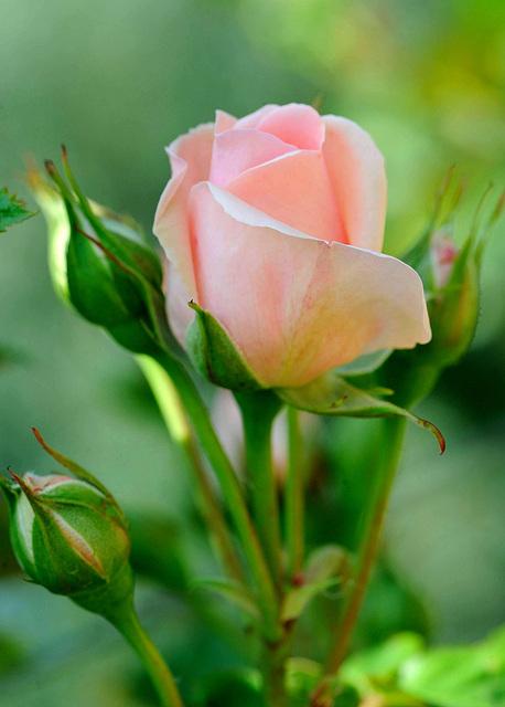 Un bouton de rose...