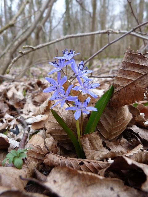 ... aus dem Winterschlaf erwacht -   Zweiblättriger Blaustern- Sternhyazinthe