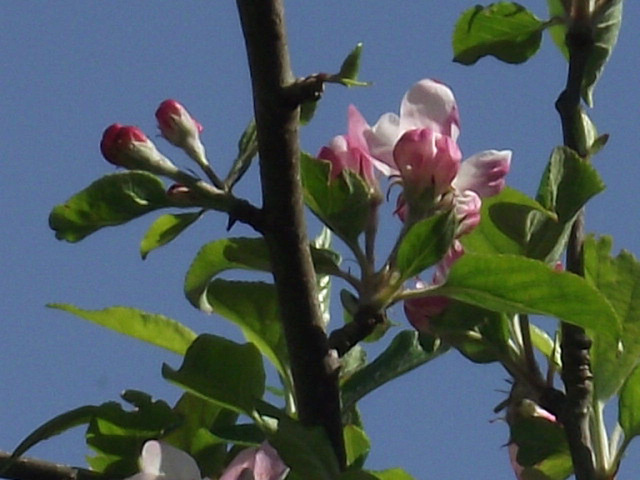 The beginnings of the apples of 2012