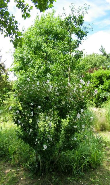 Arbuste fleuri de l'été