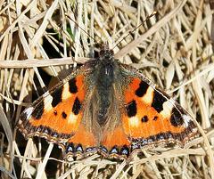 Der erste Schmetterling