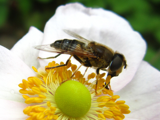 Bee going for the nectar