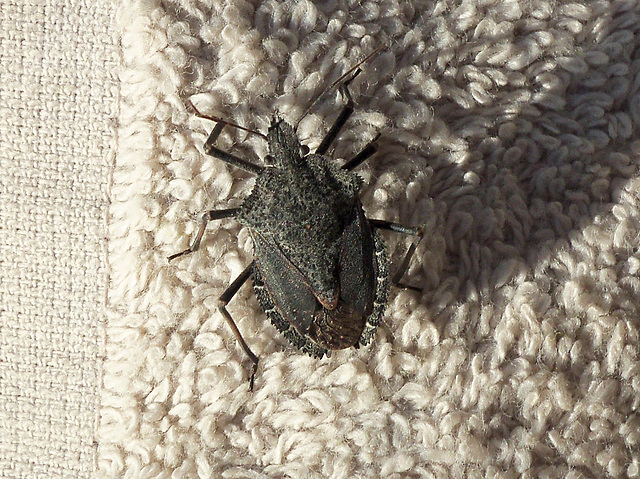 Specimen of a stink bug
