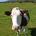 Grenchen - the obligatory cow shot