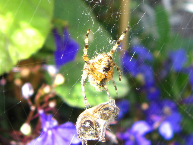 Spider wrapping his meal