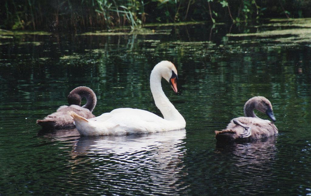 Proud mum swan and her two babies