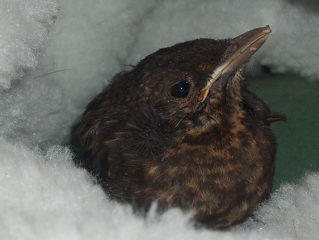 Baby bird having a rest after a chase about with Pippin