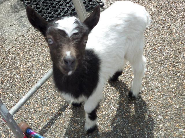Baby kid goat