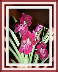 ** Orchidée  ( Miltoniopsis )**