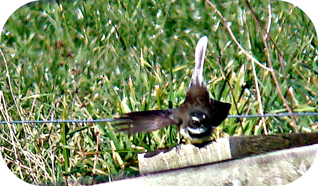 Fantail ready for take-off.