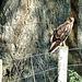 New Zealand Harrier Hawk