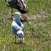 Gull at Matata