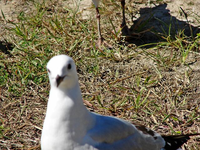 Matata gull 2