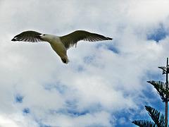 Matata gull flying