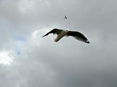 Matata gull in flight
