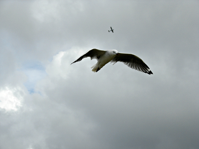 Matata gull in flight