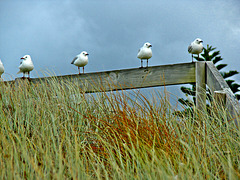 Matata gulls