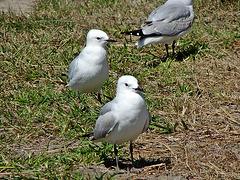 Matata gulls 2