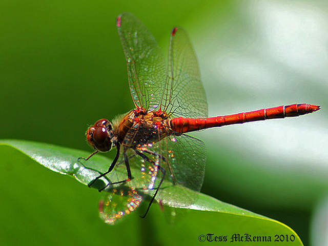 Red Darter Explore 158 copy