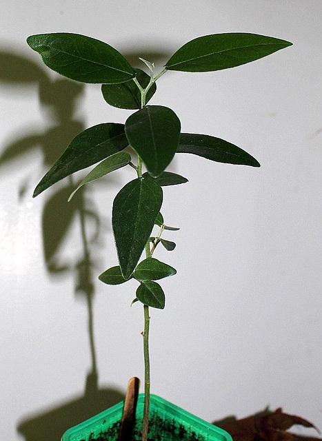 Hibiscus Boliviana