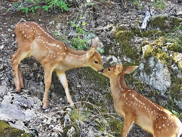 PICT2964bc Baby Fawns in Love