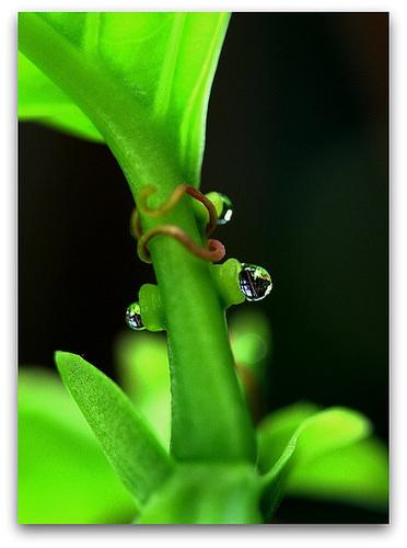 Nectaires - Glandes nectariféres de Passiflore