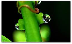 Nectaires - Glandes nectarifères de Passiflore