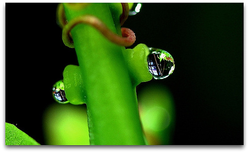 Nectariféres de Passiflore