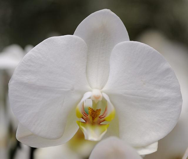 Orchidée blanche...