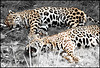 jaguar desaturation partielle
