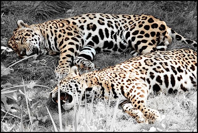jaguar desaturation partielle