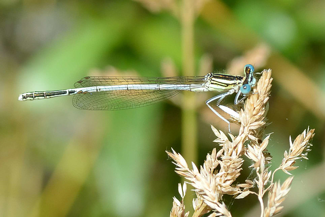 Blue Featherleg m (Platycnemis pennipes) 01