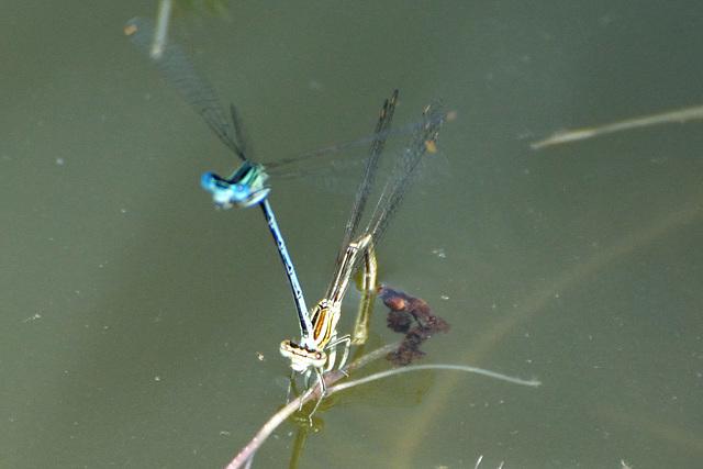 Blue Featherleg ovipositing (Platycnemis pennipes)